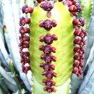 Kolokolo Store Euphorbia Canariensis rare succulent Canary Island spurge Spanish cardón 5 seeds