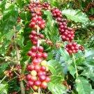 Kolokolo Store EXOTIC Coffea arabica, tropical coffee bean tree shrub rare cafe seed 10 SEEDS