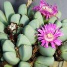 Kolokolo Store Antimima Dualis rare living stones rock mesembs peables succulent seed 100 SEEDS