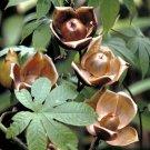 Kolokolo Store Wood Rose, MERREMIA TUBEROSA vine yellow flower morning glory Ipomoea 15 seeds