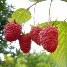 Kolokolo Store Raspberry FRUIT, exotic tree berries red rubus idaeus edible berry seed 25 SEEDS