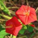 Kolokolo Store IPOMOEA COCCINNEA, rare honey bee butterfly vine red morning glory seed 20 seeds