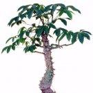 Kolokolo Store Ceiba Pentandra, Kapok tree tropical flowering wood cotton bonsai seed 10 seeds