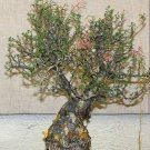 Kolokolo Store Pachycormus discolor, Elephant Tree Caudiciform trunk caudex bonsai seed 5 SEEDS