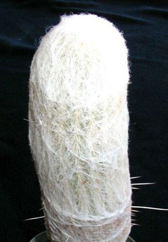 Kolokolo Store Espostoa Lanata, rare columnar cactus Pseudoespostoa melanostele seed  15 seeds