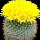 Kolokolo Store Parodia chrysacanthion, rare notocactus cacti golden flower cactus seed 25 SEEDS