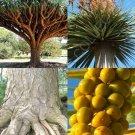 Kolokolo Store Dracaena draco, rare Dragon's Blood Tree Canary Island palm bonsai seed 10 SEEDS