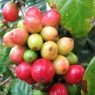 Kolokolo Store Coffee Bean Tree, Coffea Arabica tropical rare shrub exotic cafe seed 10 SEEDS