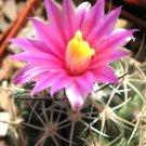 Kolokolo Store Thelocactus conothele, rare Echinocactus conothelos cactus cacti seed  10 SEEDS
