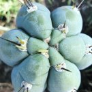 Kolokolo Store Trichocereus Peruvianus, exotic Echinopsis Peruviana columnar cereus  20 SEEDS