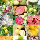 Kolokolo Store GUAVA FRUIT MIX exotic tropical guayaba rare plant Psidium guajava seed 50 SEEDS