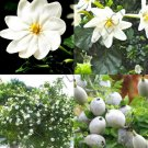 Kolokolo Store GARDENIA THUNBERGIA  rare flowering tropical fragrant forest wild seed 25 seeds