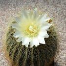 Kolokolo Store Eriocactus amplicostatus rare parodia schumanniana claviceps notocactus 50 SEEDS