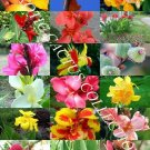 Kolokolo Store CANNA LILY MIX, exotic tropical flowering pond ginger lilies bulbs seed 50 SEEDS