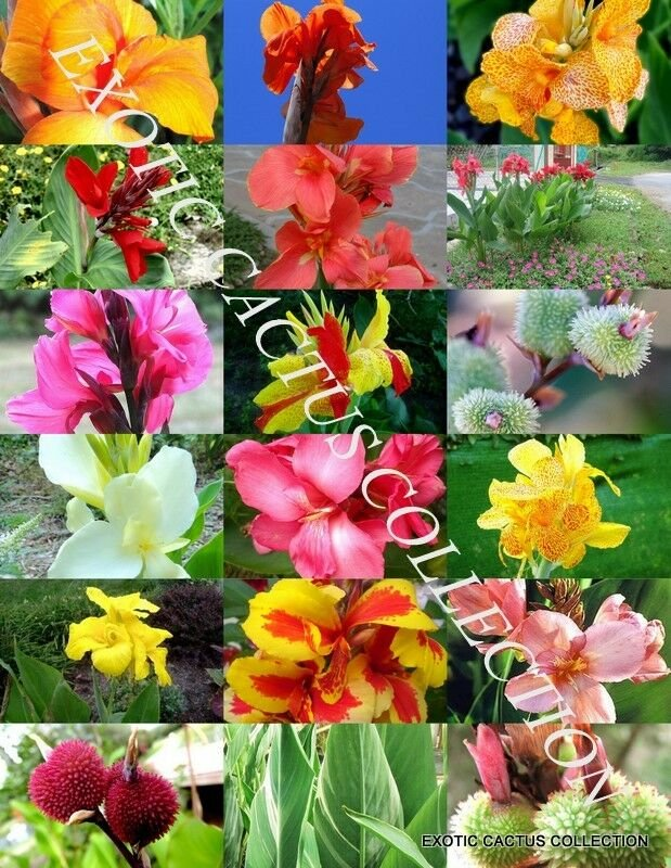 Kolokolo Store CANNA LILY MIX, exotic tropical flowering pond ginger lilies bulbs seed 30 SEEDS