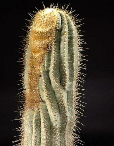 Kolokolo Store Buiningia Aurea, exotic Coleocephalocereus columnar cereus cacti seed 50 SEEDS