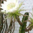 Kolokolo Store Harrisia jusbertii, night blooming cereus rare Eriocereus cactus seed  15 SEEDS