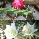 Kolokolo Store Harrisia Martinii, night blooming cereus cacti rare snake cactus seed  15 SEEDS