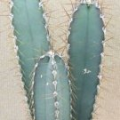 Kolokolo Store CEREUS VALIDUS, grafting stock grafted cacti night flower cactus seed 20 SEEDS