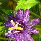 Kolokolo Store PASSION FRUIT purple flower vine maypop PASSIFLORA INCARNATA plant seed 25 SEEDS