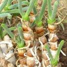 Kolokolo Store Monilaria Scutata, exotic mesembs rare succulent string of pears SEED 50 SEEDS