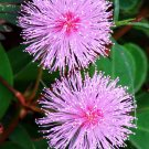 Kolokolo Store Mimosa pudica, Sensitive plant sleepy bush rare bonsai powder puff seed 50 seeds
