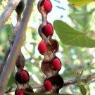 Kolokolo Store Mescal bean,TexasMountainLaurel exotic Sophora secundiflora rare seed 30 seeds
