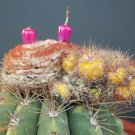 Kolokolo Store Melocactus Oreas VARIEGATED @J@ montrose cacti rare exotic cactus seed 20 SEEDS
