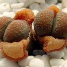 Kolokolo Store Lithops Villetii Deboeri C258 rare exotic living stones succulent seed 100 SEEDS