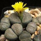 Kolokolo Store LITHOPS TERRICOLOR, rare mesembs exotic succulent living stones cactus 100 SEEDS