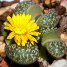 Kolokolo Store Lithops Naureeniae, rare mesembs exotic succulent living stones cactus 100 SEEDS