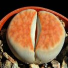 Kolokolo Store Lithops Karasmontana ORANGE ICE, rare living stones rare mesembs seed 50 SEEDS