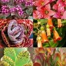 Kolokolo Store KALANCHOE variety mix @@ rare plant exotic succulent seed flowering pot 25 seeds