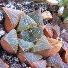 Kolokolo Store HAWORTHIA MUTICA NIGRA exotic rare succulent bonsai cactus cacti aloe 10 seeds