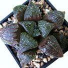 Kolokolo Store HAWORTHIA FUSCA rare miniature exotic succulent plant cactus aloe seed 20 seeds