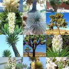 Kolokolo Store YUCCA MIX, rare palm tree exotic agave aloe flower succulent mixed seed 15 seeds