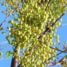 Kolokolo Store CHINABERRY WHITE CEDAR Melia azedarach wood MAHOGANY lilac bonsai TREE 15 seeds
