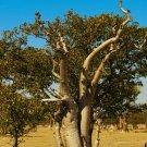 Kolokolo Store Moringa oleifera, rare flowering drumstick tree bonsai exotic plant seed 5 seeds