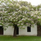 Kolokolo Store Melia azedarach, WHITE CEDAR wood MAHOGANY CHINABERRY lilac bonsai TREE 15 seeds