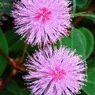 Kolokolo Store Mimosa pudica, Sensitive plant sleepy bush rare bonsai powder puff seed 20 seeds