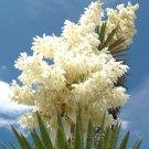 Kolokolo Store Yucca carnerosana, exotic succulent rare cactus seed aloe agave garden 15 SEEDS