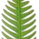 Fern Leaf Large | Ornament | Hand-Painted Gifts | Decor