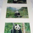 Giant Panda Bear Signed Prints Ray L Dean Ready for Framing Photographer