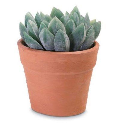Decorative Aloe Vera