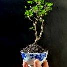 Micro Bonsai Chinese pepper tree Zanthoxylum beecheyanum