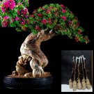 """5 Green Bougainvillea """"Pink Pixie"""" Tree Cutting"""