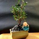 Micro Bonsai Pistacia lentiscus tree Mastic Tree - Pistachier Lentisque