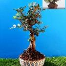Bonsai Pistacia lentiscus Exotic plant Mastic Tree Very old plant