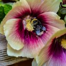 Bumble Bee In An Ivory and Pink Hollyhock Digital Image