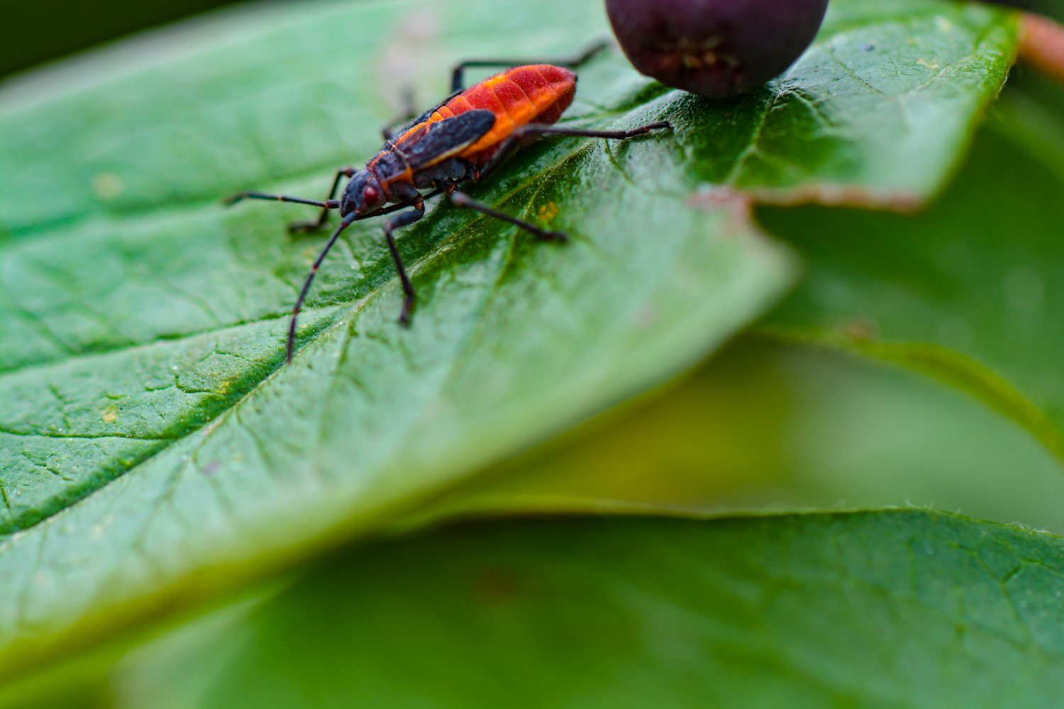 Baby Maple Bug On Green Leaf Digital Art Image Photograph